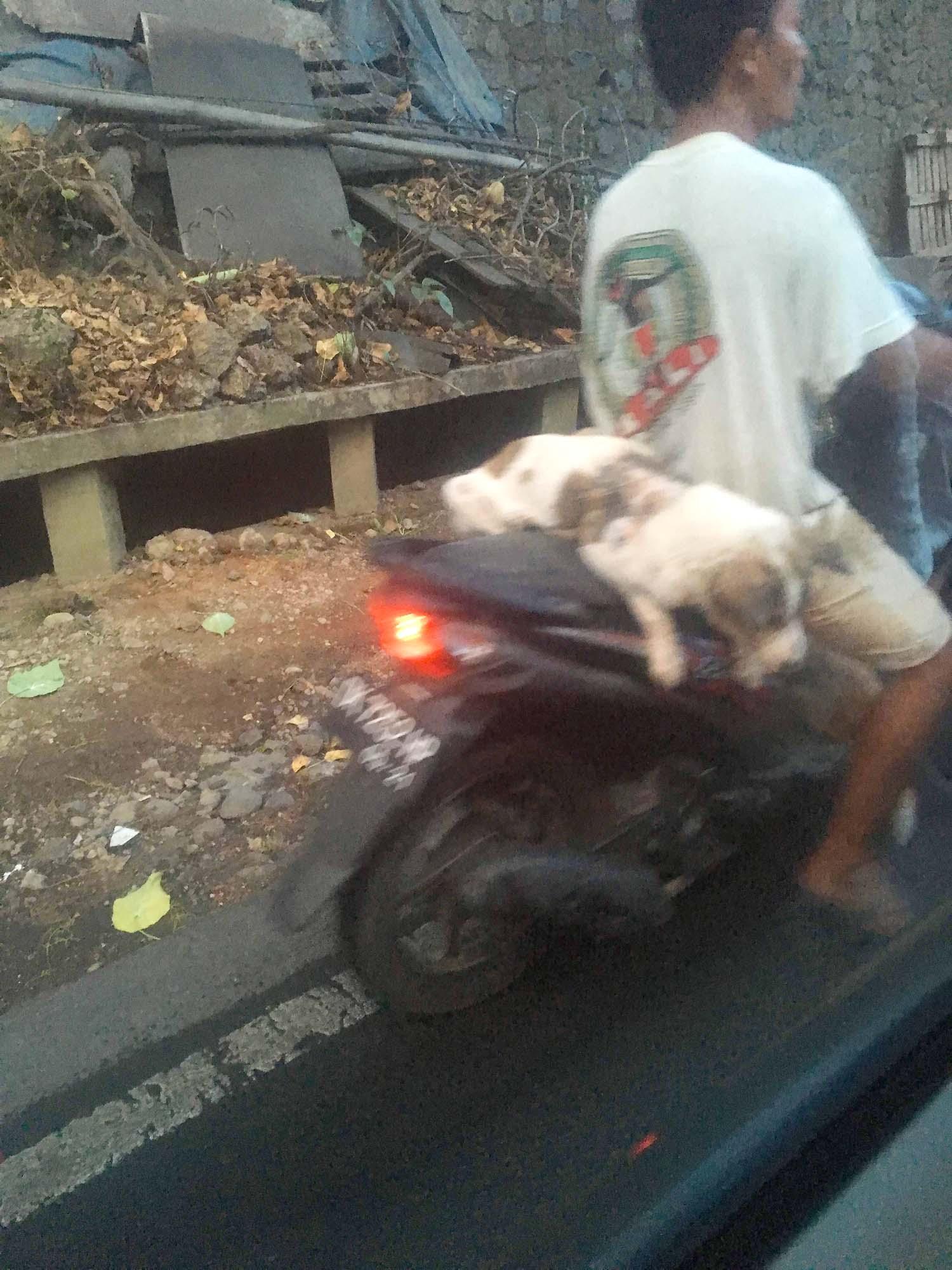 バリ島 犬